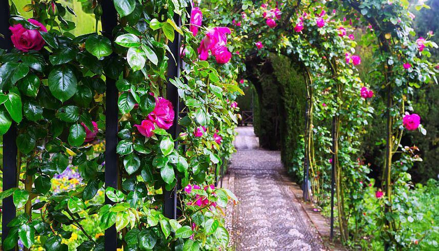 Sfaturi utile pentru plantarea si ingrijirea trandafirilor